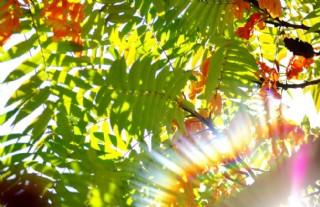 火炬樹葉圖片